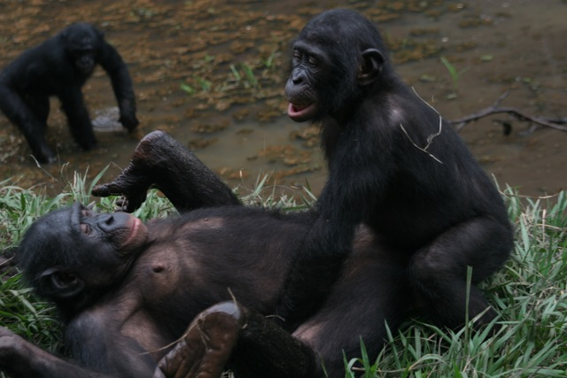 In the wild, chimpanzees are more motivated to cooperate than bonobos burada biliyorum